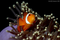 FULL FRAME Anemone Fish taken at Richilieu Rock Thailand ... by Patrick Neumann 